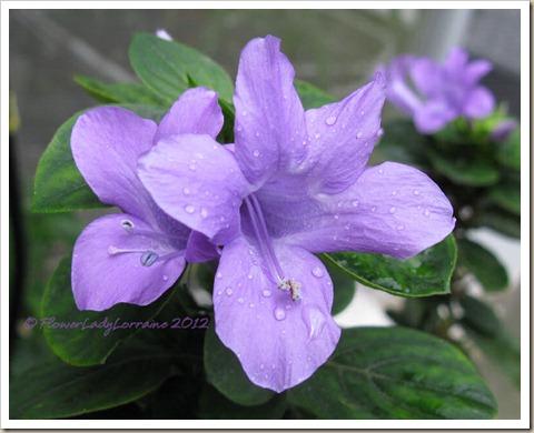 11-18-phil-violet