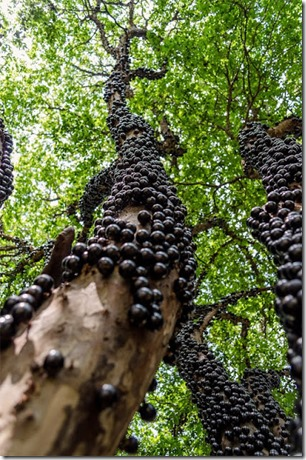 Jabuticaba, Pokok Anggur Istimewa