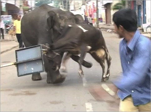Elephants Invade Indian Town, Chaos Ensues 04