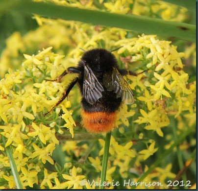 42-red-tailed-bumblebee