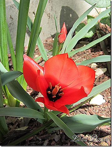 Tulip_RedHunter2_Species