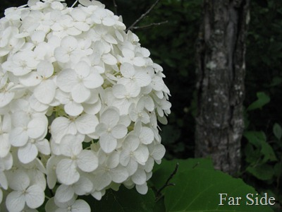 Annabelle Hydrangea partial bloom