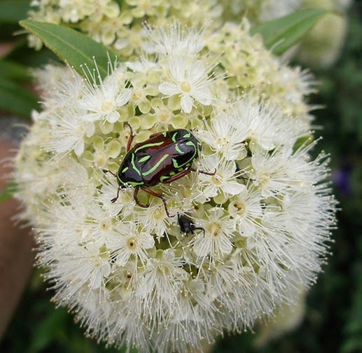 Amazing Pictures of Animals, Photo, Nature, Incredibel, Funny, Zoo, Eupoecila australasiae, fiddler beetle or rose chafer, Insecta, Alex (15)