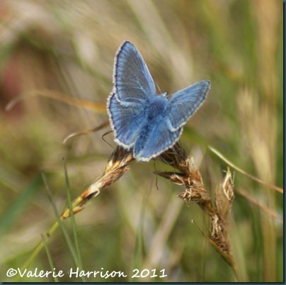 common-blue-butterfly
