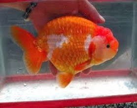 Amazing Pictures of Animals, Photo, Nature, Incredibel, Funny, Zoo, Ranchu, Goldfish, Alex (4)