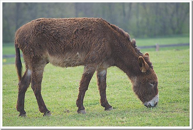 mule-public-domain-picture (5)
