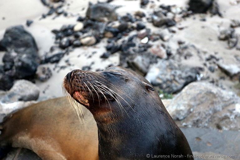 Seelöwe, Galapagos