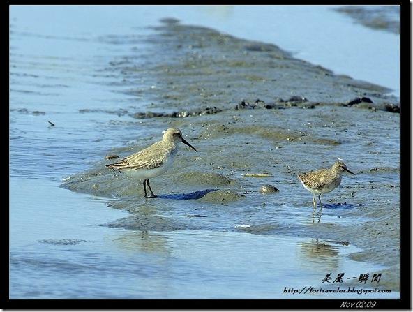 濱鷸(2010-01-03福寶濕地)2268
