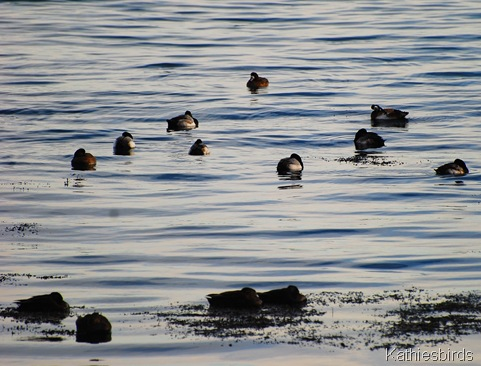 27. Gloucester G. scaup and black ducks-kab
