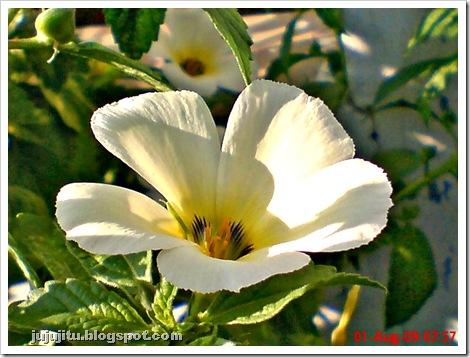 bunga pukul delapan_Turnera subulata_white alder