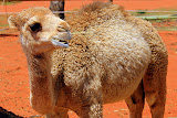 A Young Camel Under The Care of Uluru Camel Tours - Yulara, Australia