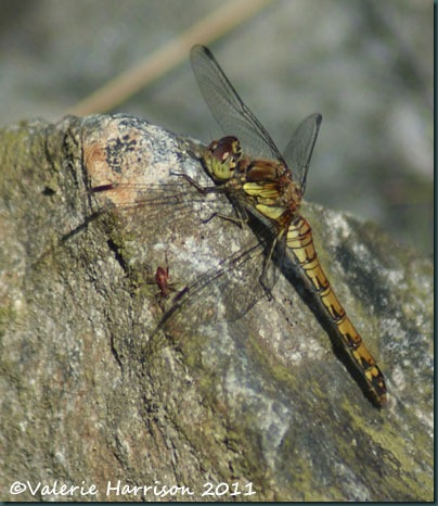 36-common-darter