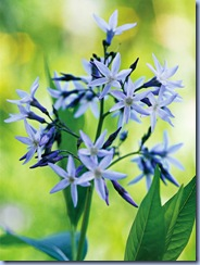 amsonia close up