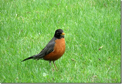 Robin in the grass