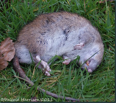 dead-rat