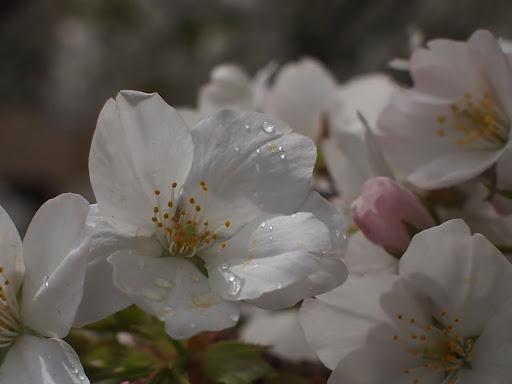 [写真]雨上がりで花びらに水滴が
