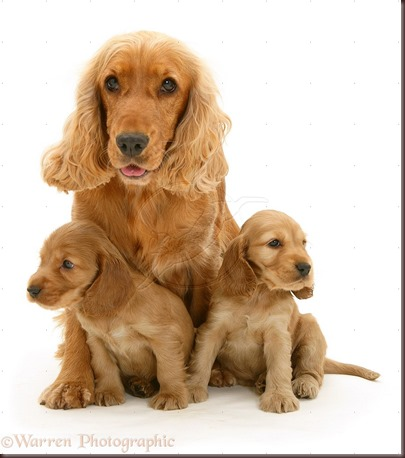 Amazing Animals Pictures Cocker Spaniel (9)