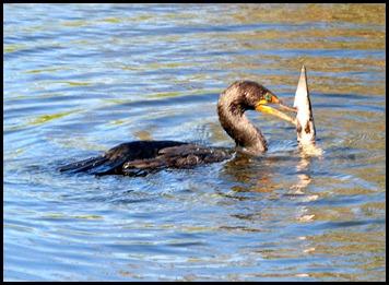 05b - Cormorant