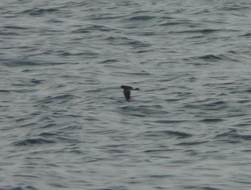 One of my 6 lifer WILSON'S STORM PETRELS!!!  Very cropped photo but just for the record