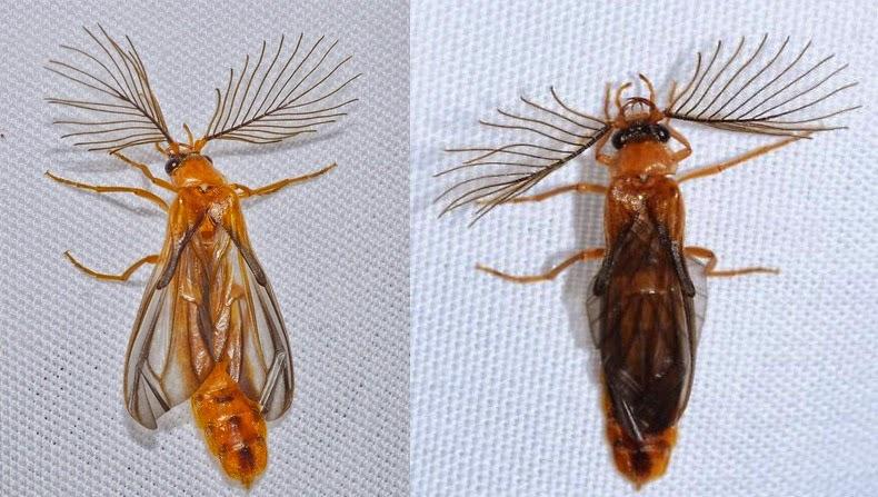 glowworm-beetle-11