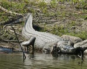 Amazing Pictures of Animals, Photo, Nature, Incredibel, Funny, Zoo, West African, crocodile desert crocodile, Crocodylus suchus, Alex (5)