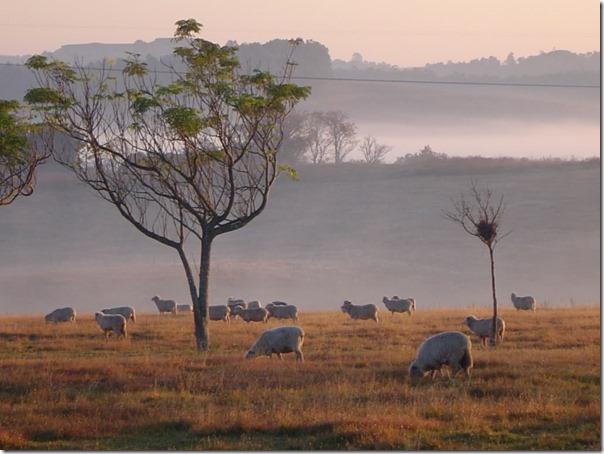 Ovelhas Pastando (1)