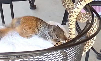 para-defender-filhotes-esquilo-ataca-cobra