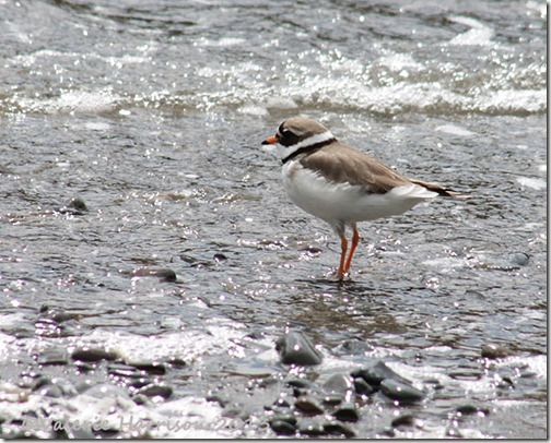 8-Ringed-plover