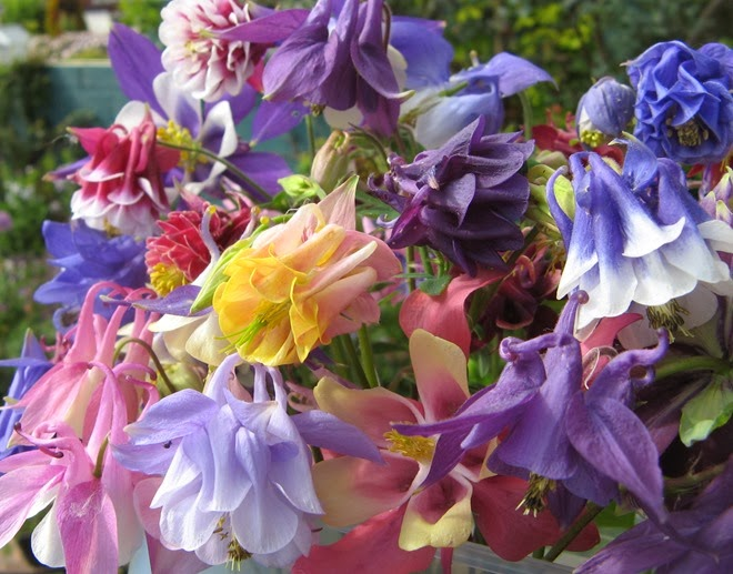 Aquilegia_Touchwood_Supreme_mix_IMG_0269