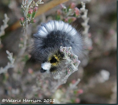 2-Dark-Tussock-Moth-Caterpillar