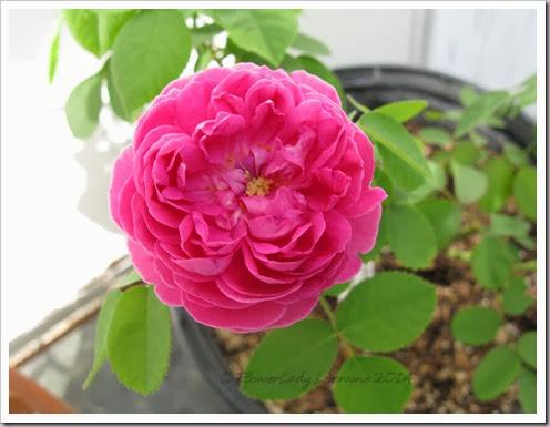 02-12-rose-de-rescht7