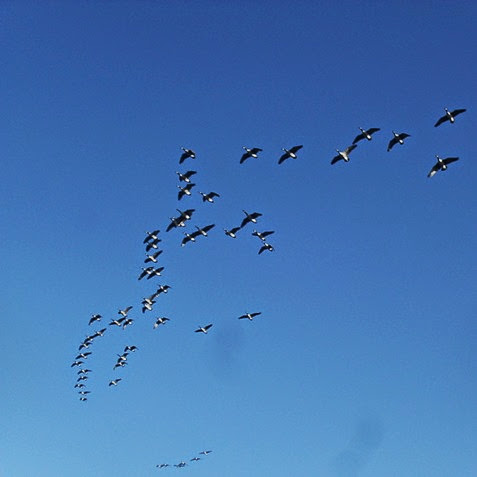 Canada Geese flying in