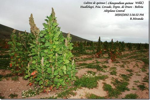 Cultivo_de_Chenopodium_quinoa_Willd-Ruben_Miranda