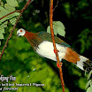 White-bellied Imperial Pigeon-02.jpg