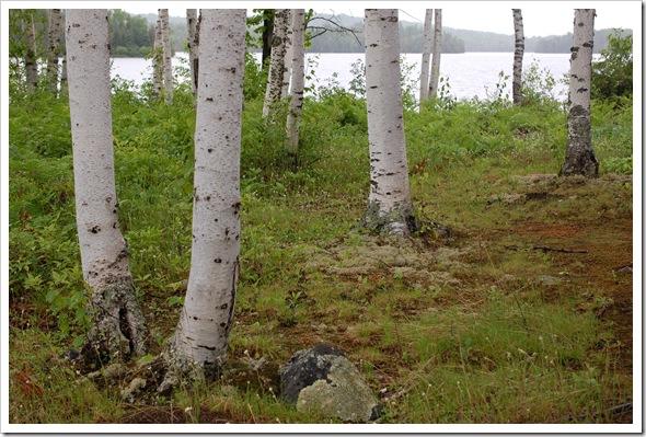 BIRCH TREE (4)