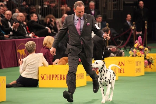 Ian, this beautiful Dalmatian, was the victor of the Non-Sporting Group and will go on to compete for Best In Show!