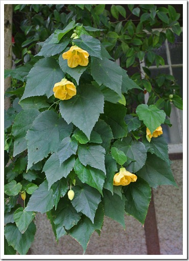 120317_Capitol_Park_Abutilon