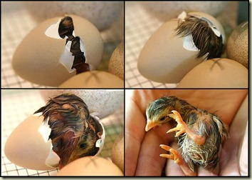 ChickHatching