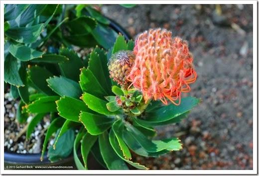 150221_Leucospermum_Scarlet_Ribbon_002