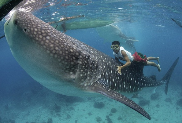 A whale shark approaches a local fisherman to be hand-fed brine shrimp in shallow waters
