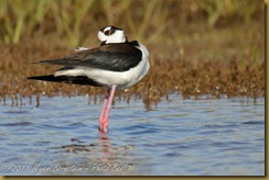 Black-necked Stilt  _ROT4248   NIKON D3S June 04, 2011