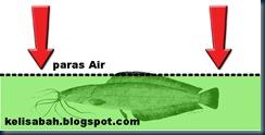teknik pembenihan ikan keli