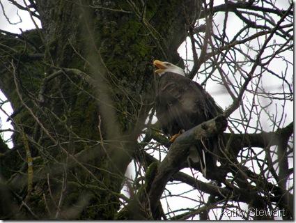 Vocal Eagle