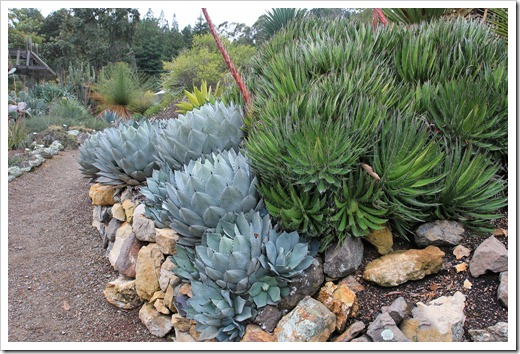 121228_UCBotGarden_Agave-parryi-huachucensis- -Agave-filifera_01