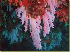 Coral Hanging from Roof-1