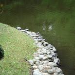 many turles can be seen at yoyogi park in Yoyogi, Tokyo, Japan