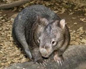 Amazing Pictures of Animals, Photo, Nature, Incredibel, Funny, Zoo, Common wombat, Vombatus ursinus, Marsupial, Mammals, Alex (7)