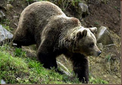 oso pardo (2)