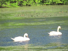 bog swans swimming in lily pads2