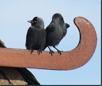 30 jackdaws